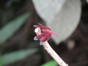 Libelle Borneo Mulu Nationalpark by Birgit Strauch Shiatsu Massagen und Bewusstseinscoaching