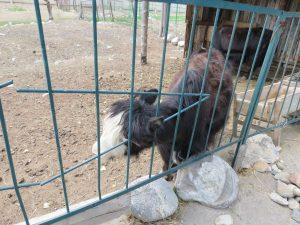 Zoo in Karakol Turkestan Yurt Camp Kirgistan by Birgit Strauch Shiatsu ThetaHealing