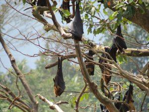 Flughunde Baum Kandy Sri Lamka by Birgit Strauch Shiatsu & ThetaHealing