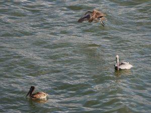 Pelikane Livingston Rio Dulce by Birgit Strauch Shiatsu & Bewusstseinscoaching