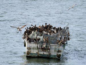 Pelikan Livingston Rio Dulce by Birgit Strauch Shiatsu & Bewusstseinscoaching