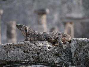 Tulum Ruinen Waran Leguan Mexiko by Birgit Strauch Bewusstseinsscoaching und Shiatsu