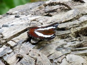 Schmetterling Batu Ritung Lodge Kelabit Highlands Pa Lungan Borneo by Birgit Strauch Shiatsu & Bewusstseinscoaching