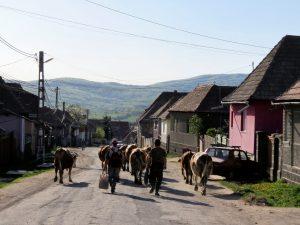 Kühe und Kirchen bei Zabola Rumänien by Birgit Strauch Shiatsu & Bewusstseinscoaching