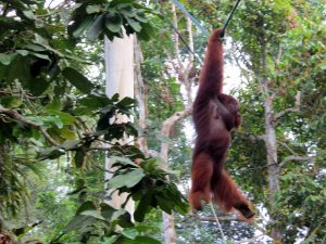 Semenggoh Wildlife Rehabilitation Center Kuching Borneo by Birgit Strauch Shiatsu & Bewusstseinscoaching