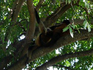 Nicaragaua Affen Las Isletas by Birgit Strauch Shiatsu & Bewusstseinscoaching