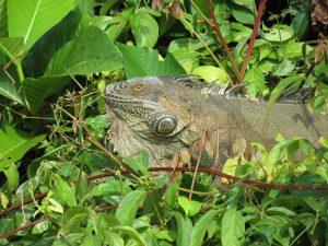 Grüner Leguan Indio Maiz Nationalpark by Birgit Strauch Bewusstseinscoaching & Shiatsu