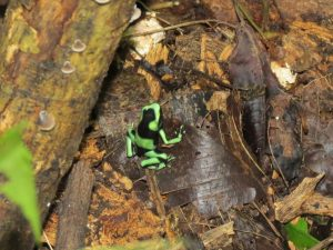 Giftiger Frosch Indio Maiz Nationalpark by Birgit Strauch Bewusstseinscoaching & Shiatsu