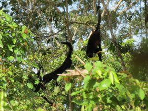 Brüllaffen Kampf Indio Maiz Nationalpark by Birgit Strauch Bewusstseinscoaching & Shiatsu