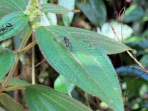 Bullet Ants Gewehrkugelameise Indio Maiz Nationalpark by Birgit Strauch Bewusstseinscoaching & Shiatsu
