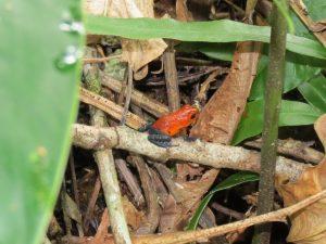 Pfeilgiftfrosch Indio Maiz Nationalpark by Birgit Strauch Bewusstseinscoaching & Shiatsu