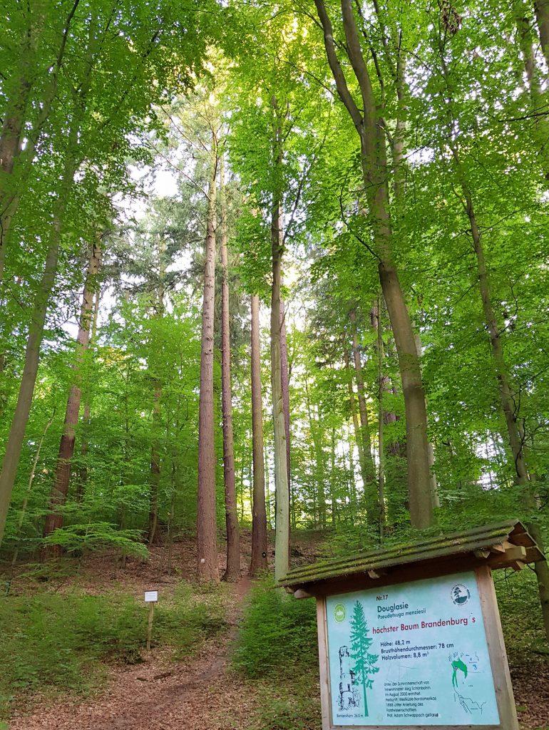 Höchster Baum Brandenburgs am Baasee by Birgit Strauch
