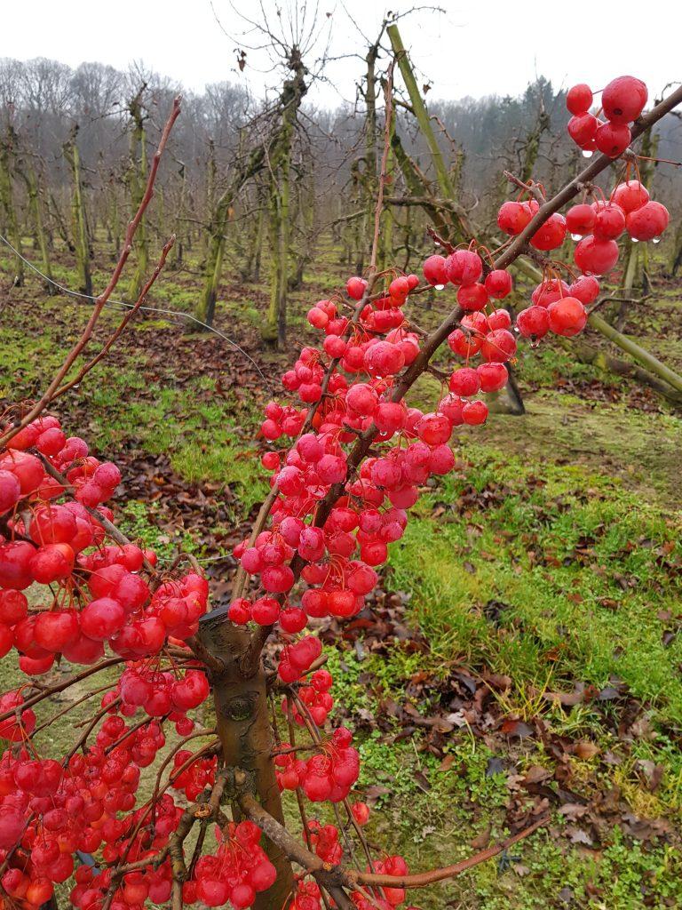 Kirschen im Winter
