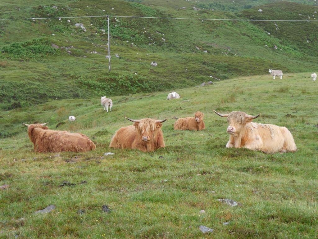 Schottland Highland Cow by Birgit Strauch